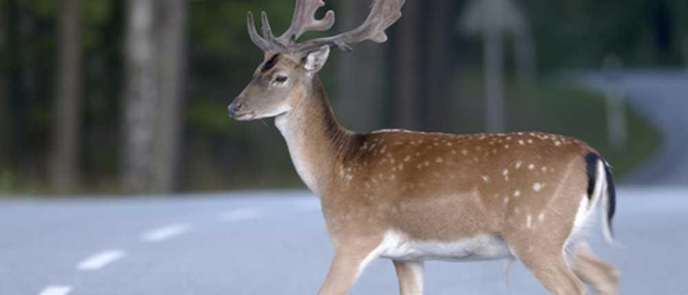 Deer Crossing on Road